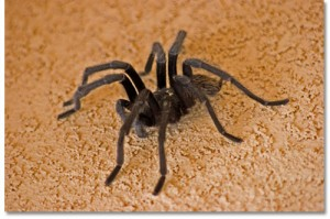 Tarantula-on-stucco-wall